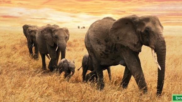 Giornata internazionale degli elefanti: i pachidermi sempre più a rischio