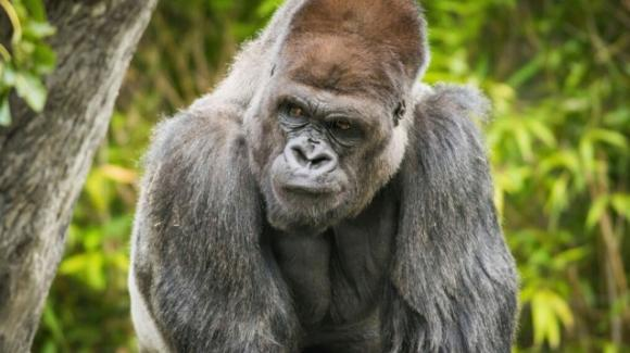 USA, ad Atlanta 13 gorilla trovati positivi al Covid-19 in uno zoo