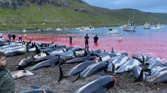 La mattanza di 1500 delfini alle Isole Fær Øer