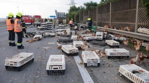 Forlì, caos in autostrada: 3 mila galline morte e altre 7 mila in fuga