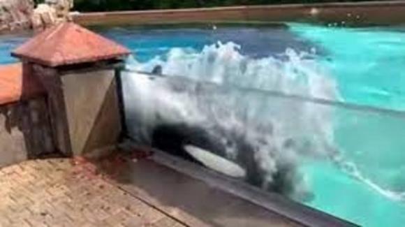 Orca impazzisce dopo 40 anni in vasca: i gesti autolesionistici e la petizione per liberarla