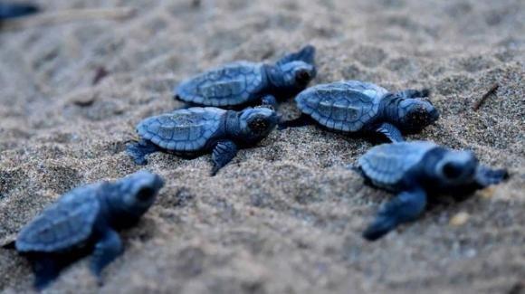 Jesolo, nate nove tartarughe caretta caretta