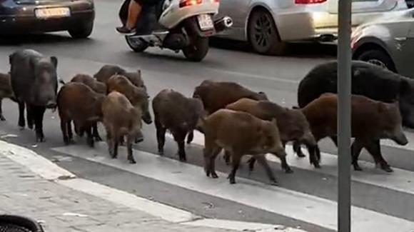 Curioso caso a Via Trionfale a Roma dove i cinghiali scorrazzano liberi