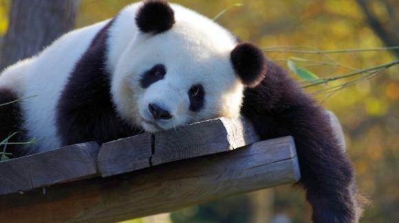 La specie dei panda non è più a rischio di estinzione