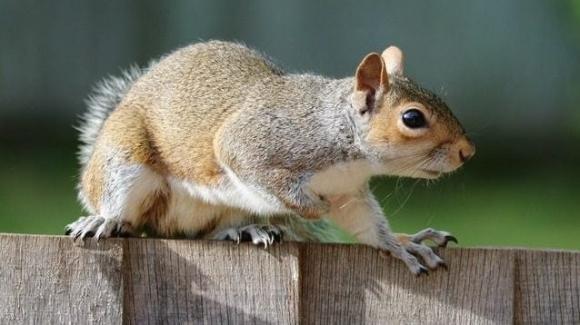 L'Emilia Romagna ha deciso di catturare e uccidere col gas tutti gli scoiattoli grigi: le motivazioni