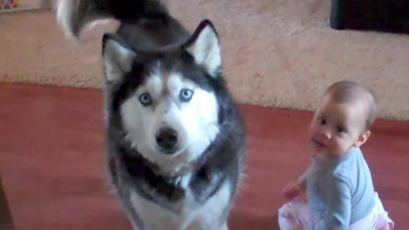 Un bimbo gioca con il suo husky. Poco dopo la mamma si accorge che il cane imita il bambino e riprende tutto!