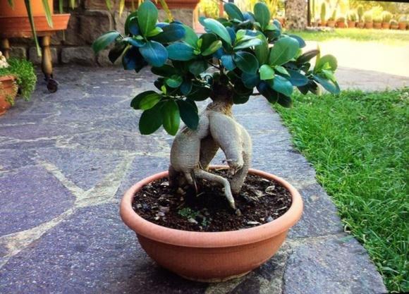 Bonsai Ginseng: come curarlo e cosa fare se perde foglie