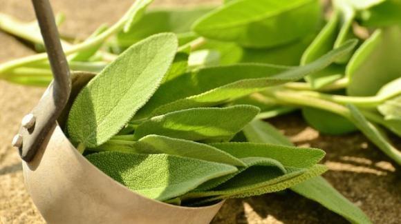 Salvia: benefici, proprietà e consigli su come utilizzarla