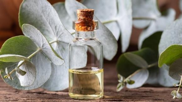 Olio essenziale di eucalipto: proprietà, uso e controindicazioni
