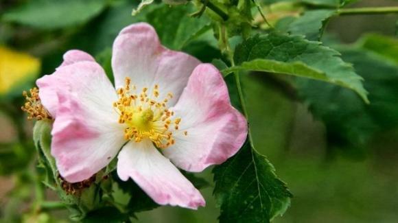 Rosa canina, proprietà e benefici