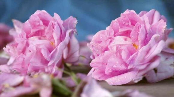 Olio essenziale di rosa damascena: proprietà, benefici e utilizzi
