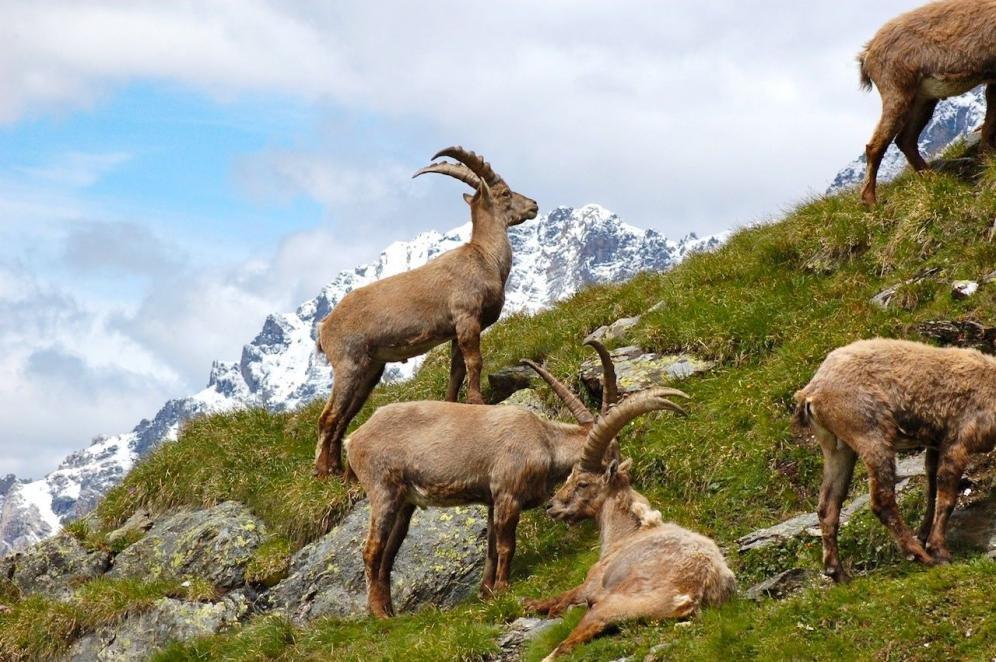Un safari serale alpino in Val Zebrù