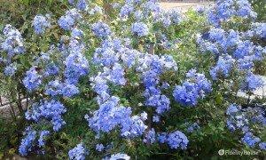 Pianta Plumbago con fiori azzurri