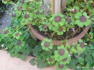 Oxalis o (quadrifoglio) fiore rosa