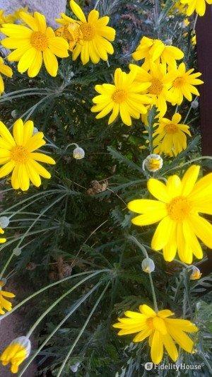 Cespuglio di margherite gialle