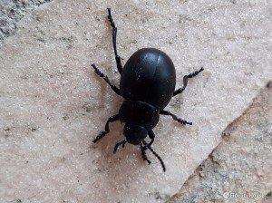 Un esemplare di coleottero nero