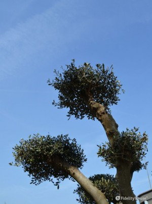 Ecco l'olivo pon pon
