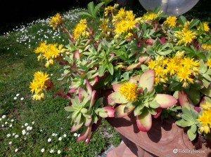 Pianta grassa dai fiori gialli