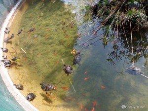 Il laghetto con la tartarughe nella Villa Floridiana a Napoli