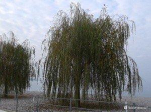 Il salice piangente sul Lago di Garda