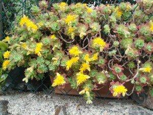 La mia pianta grazza con fiorellini gialli