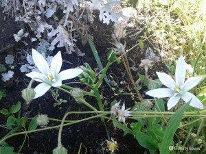 Fiori bianchi a sei petali