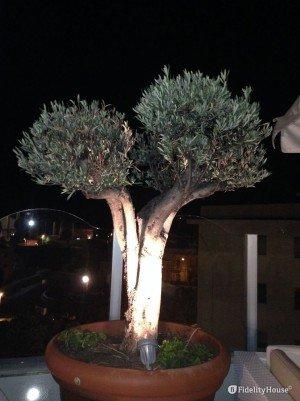 Bellissimo ulivo bonsai