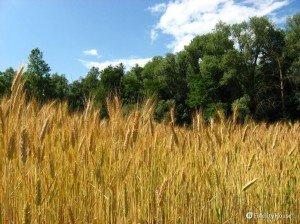 Campo di grano in Brianza