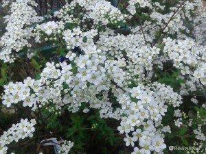 Fiori bianchi primaverili
