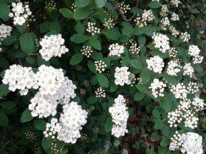 Un cespuglio di fiori bianchi