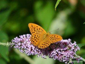 Farfalla arancione e nera