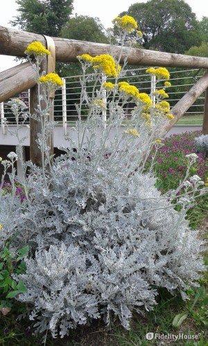 La pianta cineraria marittima in fiore