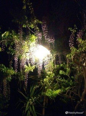 Lo splendore del glicine di notte