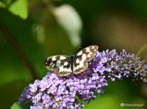 Farfalla bianca e nera