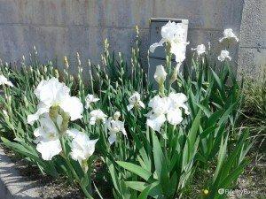 Fiori bianchi che assomigliano a dei gigli