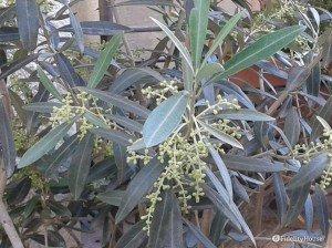 Pianta di olivo in bocciolo