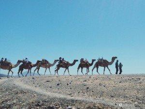 Cammelli a Fuerteventura