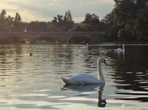 Cigno nel lago di Hyde Park
