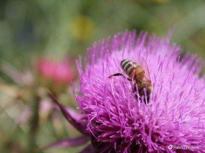 Un'ape si tuffa in un cardo in fiore a Castelluccio da Norcia