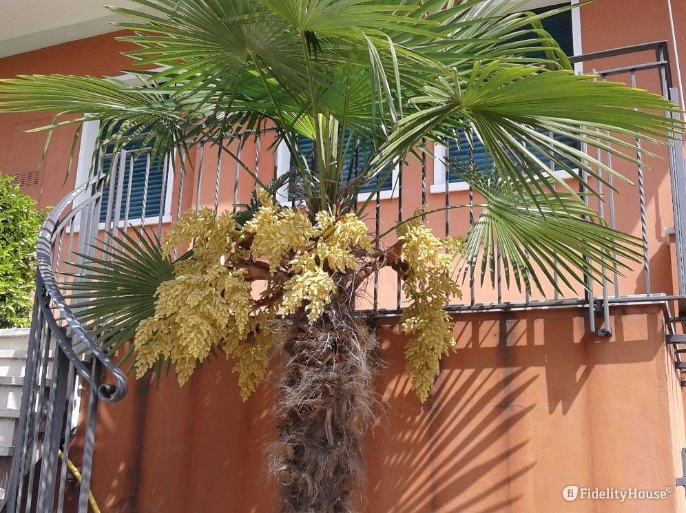 Fiori Gialli A Grappolo.La Palma Con I Fiori Gialli Fidelity Foto