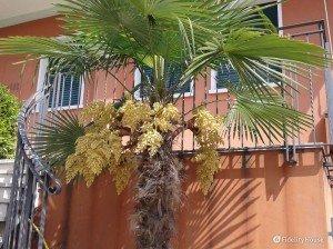 La palma con i fiori gialli