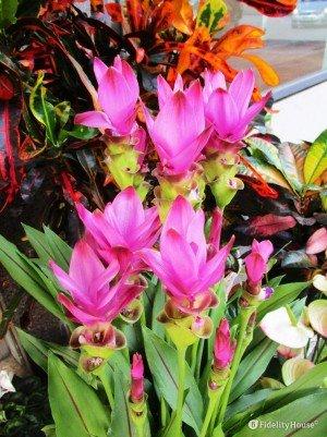 Curcuma, spezia e pianta ornamentale
